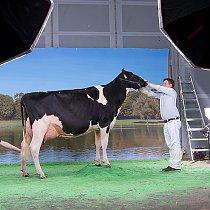 Deutschlands schönste Kuh